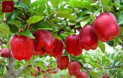 Yaşlı Çobanın Elma Ağacı