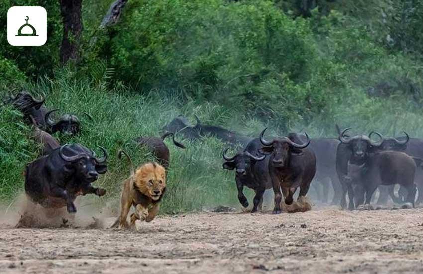 aslanlar okuzler